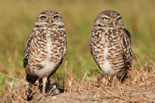 Aves de Pastizales en Sierra de Nuevo leon