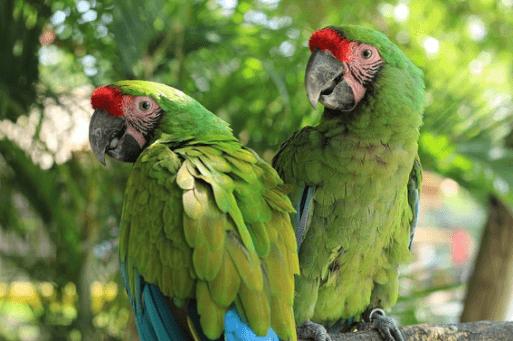 Guacamaya Verde de Mexico